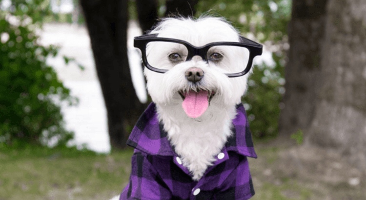 Toby Little Dude Instagram Dog with glasses