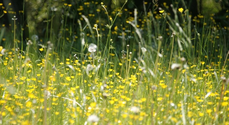 hay-fever-meadow-sneezes